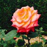 Rosa Fotos de Stock Royalty Free