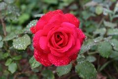 Rosa imagens de stock