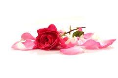 Rosa (6) imagens de stock