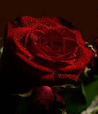 Rosa 2 fotografia stock