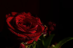 Rosa 4 fotografie stock libere da diritti