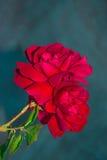 Rosa Foto de Stock Royalty Free