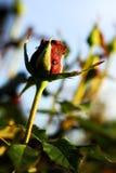 Rosa Imagem de Stock Royalty Free