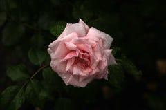 Rosa fotografia de stock royalty free