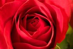 A Rosa Fotografia de Stock Royalty Free