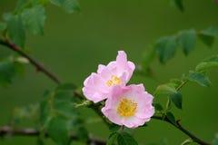 rosa Royaltyfri Fotografi