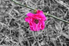 Rosa Lizenzfreies Stockbild