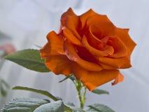 Rosa Imagens de Stock Royalty Free