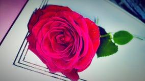 rosa Royalty-vrije Stock Fotografie