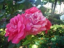 rosa Stockfoto