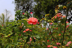 Rosa Foto de Stock Royalty Free