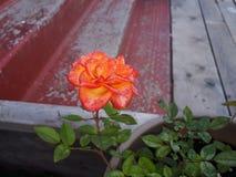 Rosa fotografia stock libera da diritti