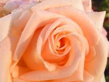 Rosa. Fotografie Stock