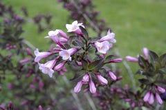 Rosa Abelia Grandiflora Lizenzfreies Stockfoto