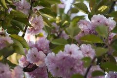 Rosa abloom japansk körsbärsröd sakura blomning Arkivbild