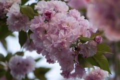 Rosa abloom japansk körsbärsröd sakura blomning Arkivfoton