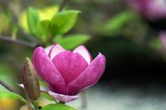 Rosa abloom magnoliablomma Arkivfoton
