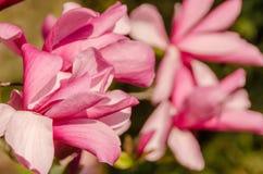 Rosa abloom magnoliablomma Royaltyfri Fotografi