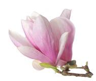 Rosa abloom magnoliablomma Royaltyfria Bilder