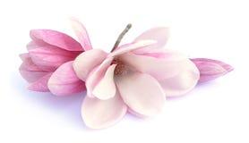 Rosa abloom magnoliablomma Arkivbild