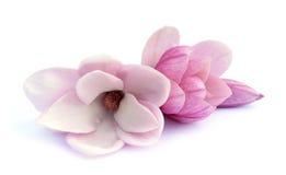 Rosa abloom magnoliablomma Royaltyfri Bild