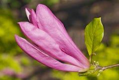 Rosa abloom magnoliablomma Arkivbilder