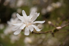 Rosa abloom magnoliablomma Fotografering för Bildbyråer