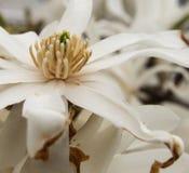 Rosa abloom magnoliablomma Royaltyfri Foto