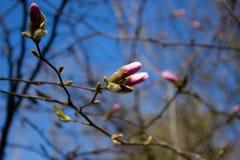 Rosa abloom magnoliablomma Arkivfoto