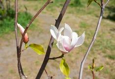Rosa abloom magnoliablomma Blommande magnoliablomma på trädfilialen Royaltyfri Bild