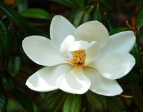 Rosa abloom Magnolienblume Lizenzfreie Stockfotografie