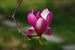 Rosa abloom Magnolienblume Lizenzfreies Stockbild