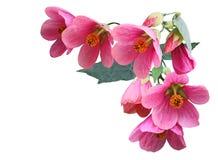 Rosa Abutilon hybridum Blume Lizenzfreie Stockbilder
