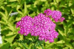 Rosa Achillea-Blumen Stockbilder