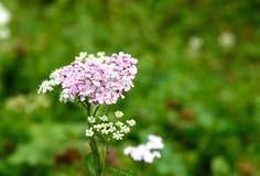 Rosa Achillea-millefolium Blume Lizenzfreie Stockfotos