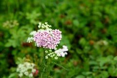 Rosa Achillea-millefolium Blume Lizenzfreies Stockbild
