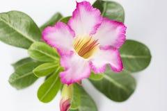 Rosa Adenium auf einem weißen Hintergrund Stockfotografie