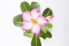 Rosa Adenium auf einem weißen Hintergrund Lizenzfreies Stockfoto