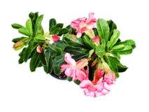 Rosa Adenium blüht Wüstenrose auf lokalisiertem weißem Hintergrund Stockfotografie