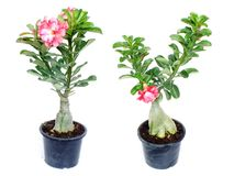 Rosa Adenium blüht Wüstenrose auf lokalisiertem weißem Hintergrund Stockbilder