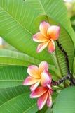 Rosa Adenium (blom) Arkivbild