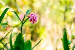 Rosa Adenium-Blume im Garten mit Unschärfehintergrund Stockfotografie
