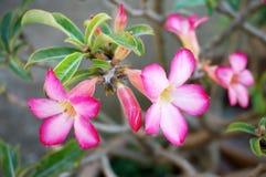 Rosa Adenium-Blumen oder Wüstenrose Stockbilder