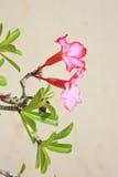 Rosa adenium för öken på sandbakgrunden Royaltyfria Foton