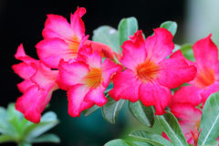 Rosa Adenium Obesum Royaltyfri Fotografi