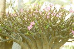 Rosa Adenium obesum Blume Stockfotografie