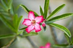 Rosa Adenium obesum Blume Stockfoto