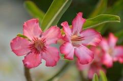 Rosa Adenium obesum Blume Stockbilder