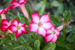 Rosa Adenium obesum Blume Lizenzfreie Stockbilder