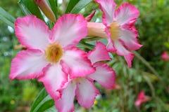 Rosa Adenium obesum (Wüstenrose) Lizenzfreies Stockfoto
